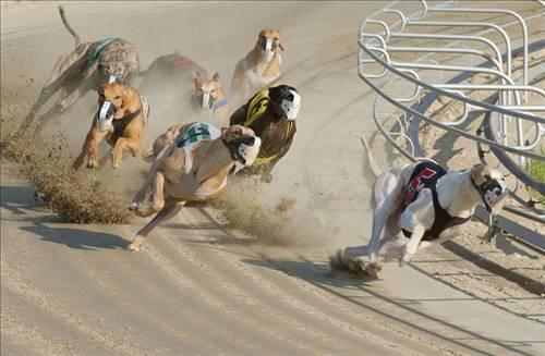 Собачьи бега Австралия